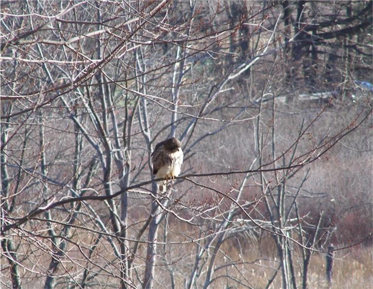 Image result for winter red-tailed hawk on sapling