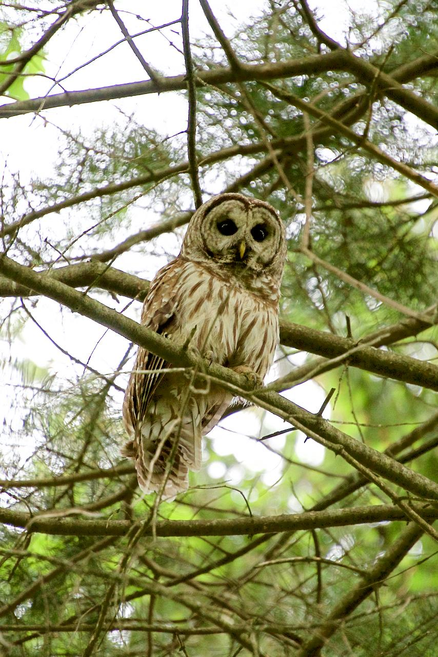 barred owl sudbury valley trustees