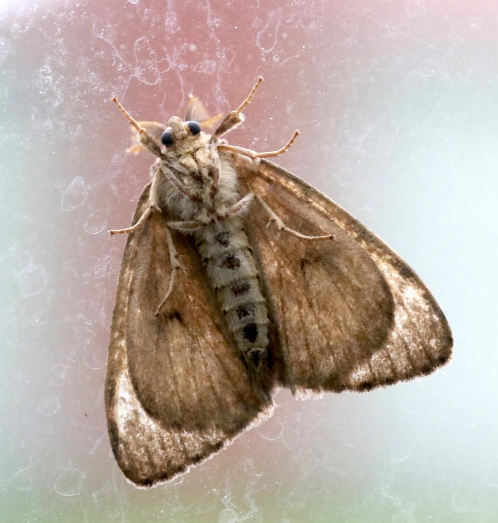Gypsy Moth | Sudbury Valley Trustees
