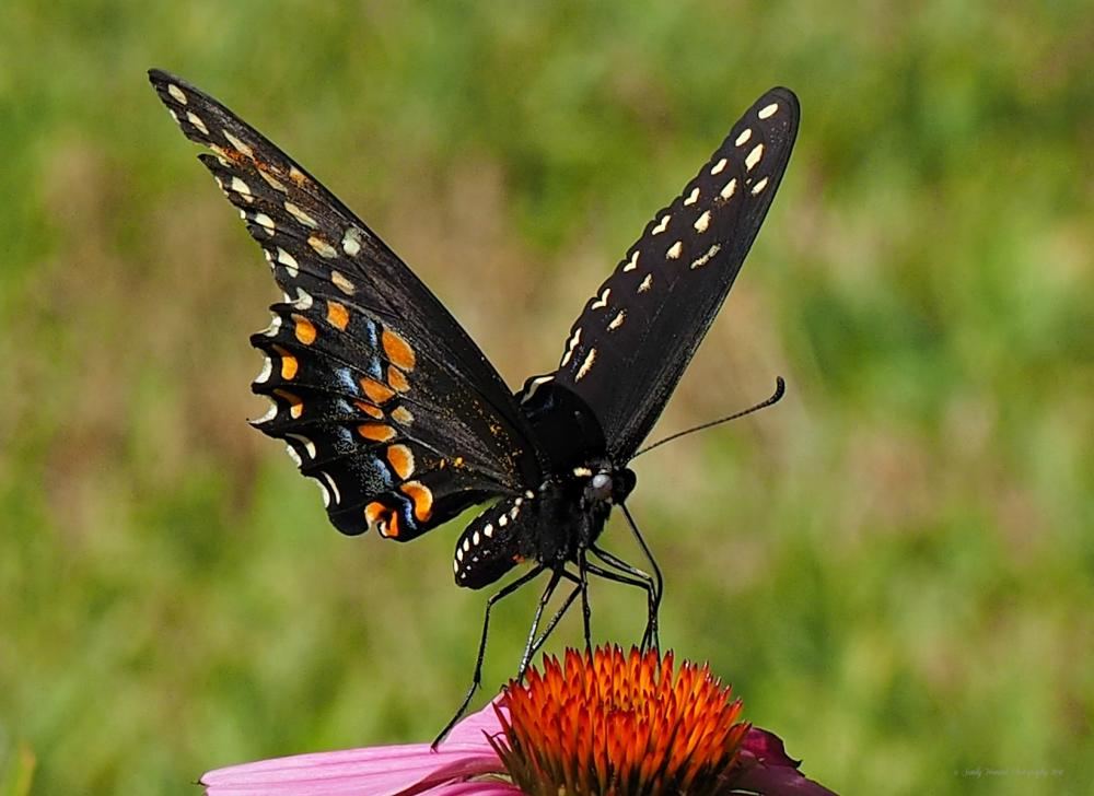 A black swallowtail in Northborough, photographed by Sandy Howard.