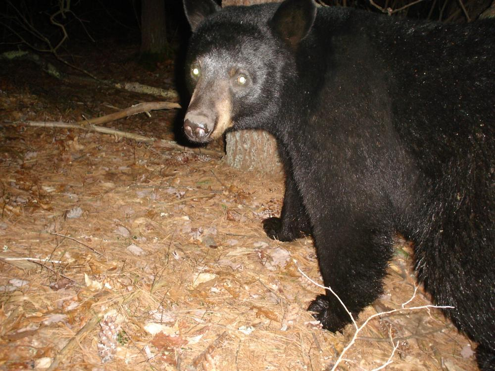 Craig Smith used an automatically triggered wildlife camera to photograph  this American black bear at SVT's General Federation of Women's Clubs of ...