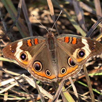 A common buckeye at Greenways Conservation Area in Wayland, photographed by Michael Newton.
