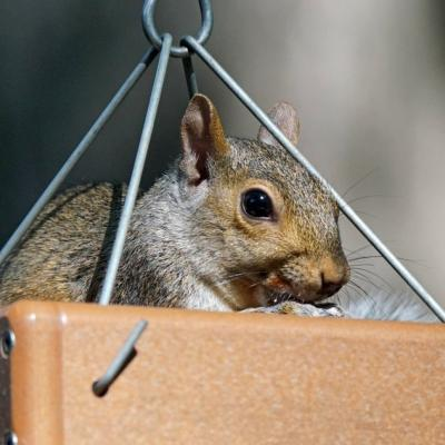 A gray squirrel in Framingham, photographed by Joan Chasan.