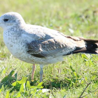 A ring-billed gull at Farm Pond in Framingham, photographed by Steve Forman.