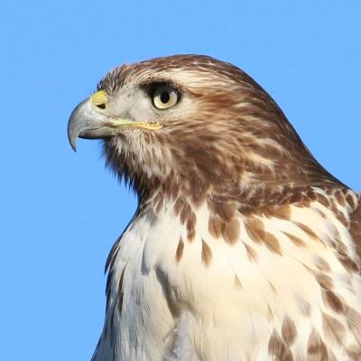 A red-tailed hawk in Wayland, photographed by Steve Forman.