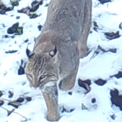 A bobcat in Stow, photographed with an automatically triggered wildlife camera by Steve Cumming.