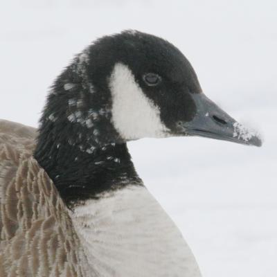 A Canada goose at Hager Pond in Marlborough, photographed by Steve Forman.