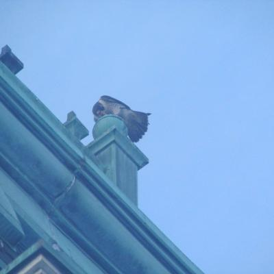 A peregrine falcon on City Hall in Marlborough, photographed by Nicholas Milano.