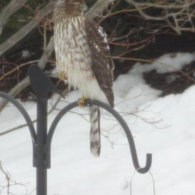 A Cooper's hawk in Hudson, photographed by Peter Feil.