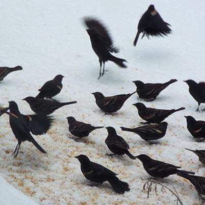 A flock of red-winged blackbirds and a mourning dove in Harvard, photographed by Robin Right.