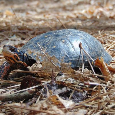 A spotted turtle at SVT's Memorial Forest in Sudbury, photographed by Mike Zaborowski.