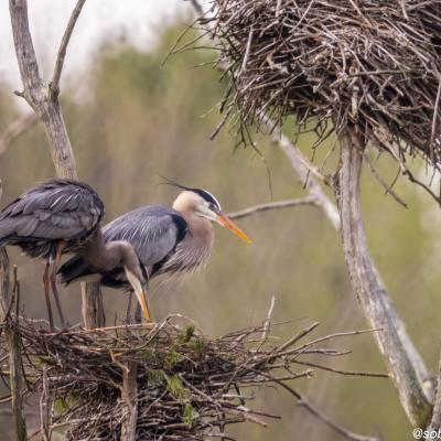 Great blue herons on a nest at SVT's Lyons-Cutler Reservation in Sudbury, photographed by David Blad.