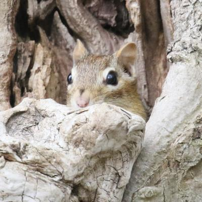 An eastern chipmunk at Heard Pond in Wayland, photographed by Steve Forman.