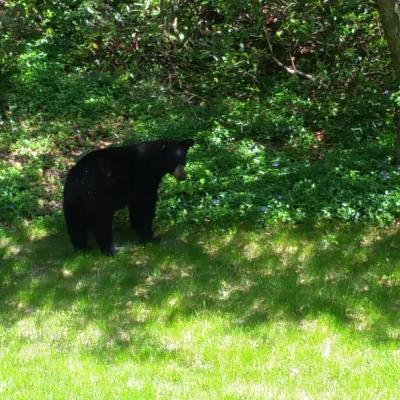 An American black bear in Harvard, photographed by Robin Right.