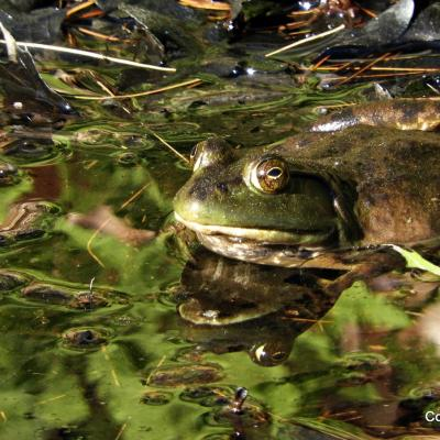 An American bullfrog at Eames Brook in Framingham, photographed by Michael Kolodny.