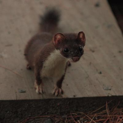 A short-tailed weasel in Sudbury, photographed by Dan Trippe.