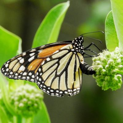 A Monarch butterfly laying eggs on a common milkweed plant in Westborough, photographed by Nan Burke.
