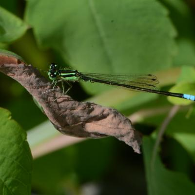 An eastern forktail damselfly at Great Meadows National Wildlife Refuge in Concord, photographed by Greg Dysart.