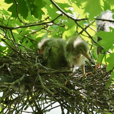 Green herons at their nest in Sudbury, photographed by Russ Place.