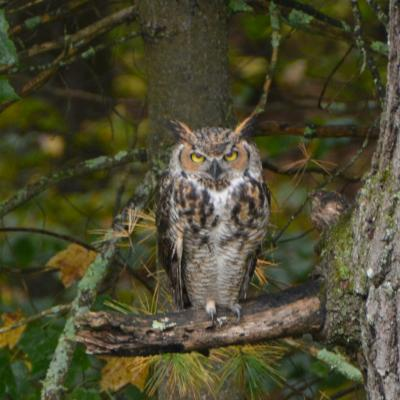 A great horned owl at SVT's Upper Mill Brook Conservation Area in Wayland, photographed by Ray Nava.