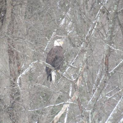 A bald eagle in Stow.