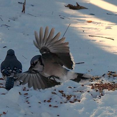 Blue jays in Northborough, photographed by Sandy Howard.