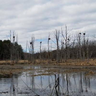 Great blue heron nests at SVT's Lyons-Cutler Reservation in Sudbury, photographed by Marnie Frankian.