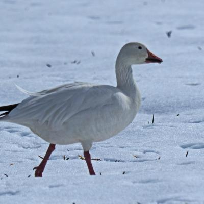 A snow goose in Concord, photographed by Joan Chasan.