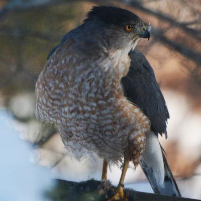 A Cooper's hawk with prey in Lincoln, photographed by Ron McAdow.