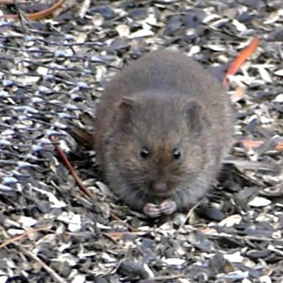 A meadow vole in Lincoln, photographed by Harold McAleer.