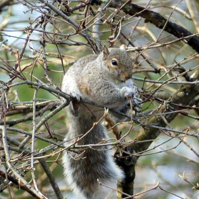 A gray squirrel in Lincoln, photographed by Harold McAleer.