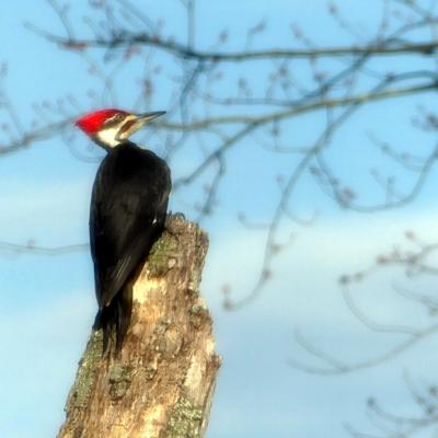A pileated woodpecker in Lincoln, photographed by Harold McAleer.