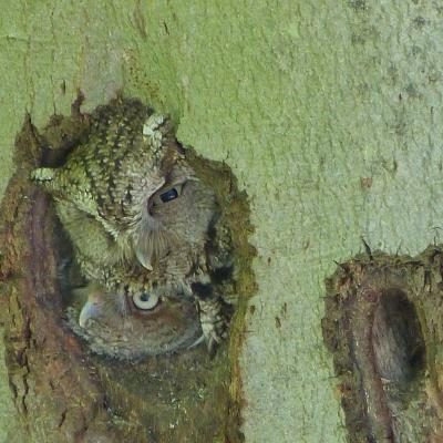 Eastern screech owls in Concord, photographed by Terri Ackerman.