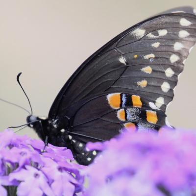A black swallowtail butterfly at Tower Hill in Boylston, photographed by Steve Forman.