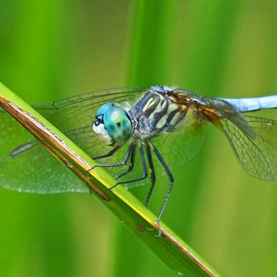 A blue dasher at Garden in the Woods in Framingham, photographed by Joan Chasan.