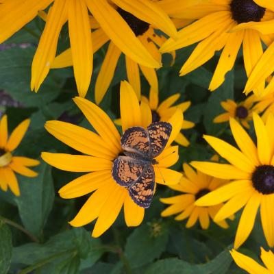 A pearl crescent butterfly in Bolton, photographed by Betsy Taylor-Kennedy.