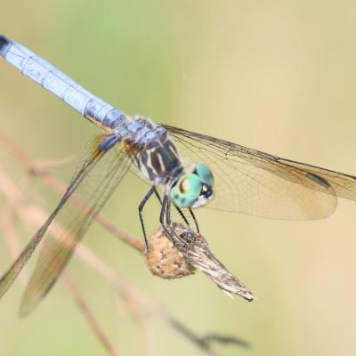 A blue dasher at Farm Pond in Framingham, photographed by Steve Forman.