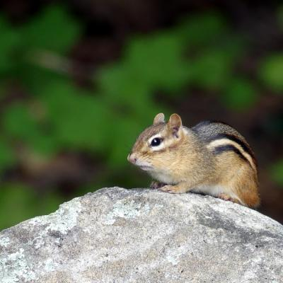 An eastern chipmunk in Lincoln, photographed by Harold McAleer.