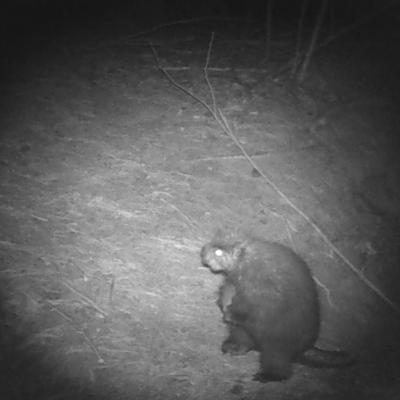 A porcupine at the Smith Property in Littleton, photographed with an automatically triggered wildlife camera by Dan Stimson.