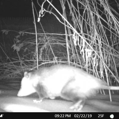An opossum in Concord, photographed with an automatically triggered wildlife camera by Lyell Slade.