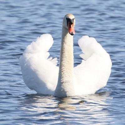A mute swan at Farm Pond in Framingham, photographed by Steve Forman.