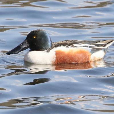 A male northern shoveler on Hager Pond in Marlborough, photographed by Steve Forman.