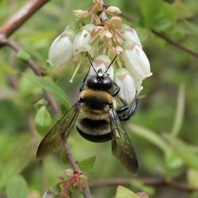 A bumble bee in Concord, photographed by Lyell Slade.