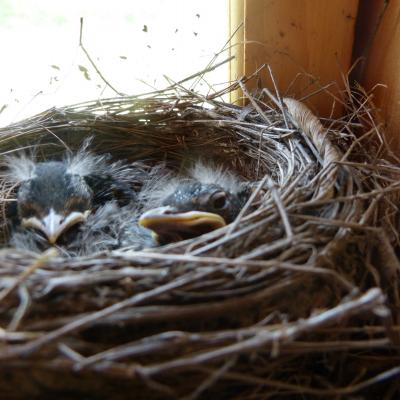 American robin nestlings in Concord, photographed by Terri Ackerman.
