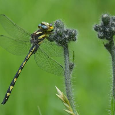 A delta-spotted spiketail at Garden in the Woods in Framingham, photographed by Greg Dysart.