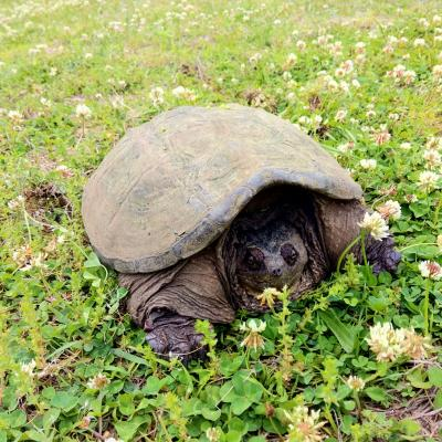 A snapping turtle at SVT's Wolbach Farm in Sudbury, photographed by Dan Stimson.