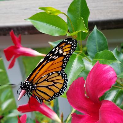 A monarch butterfly in Northborough, photographed by Marnie Frankian.