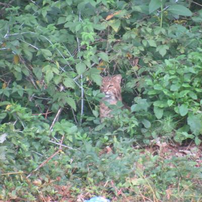 A bobcat in Stow.