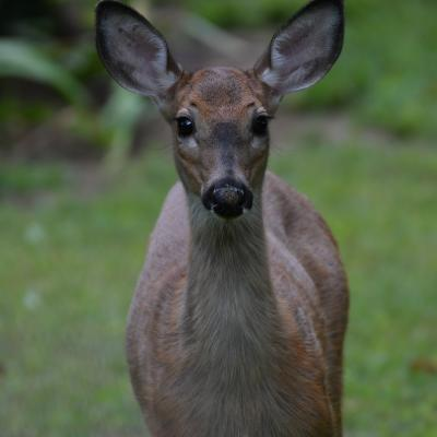 A white-tailed deer in Maynard, photographed by Gail Sartori.