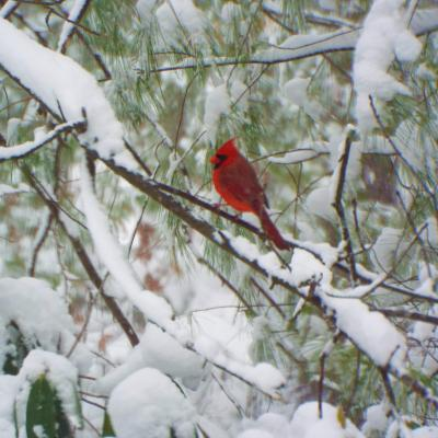 A northern cardinal in Harvard, photographed by Robin Right.